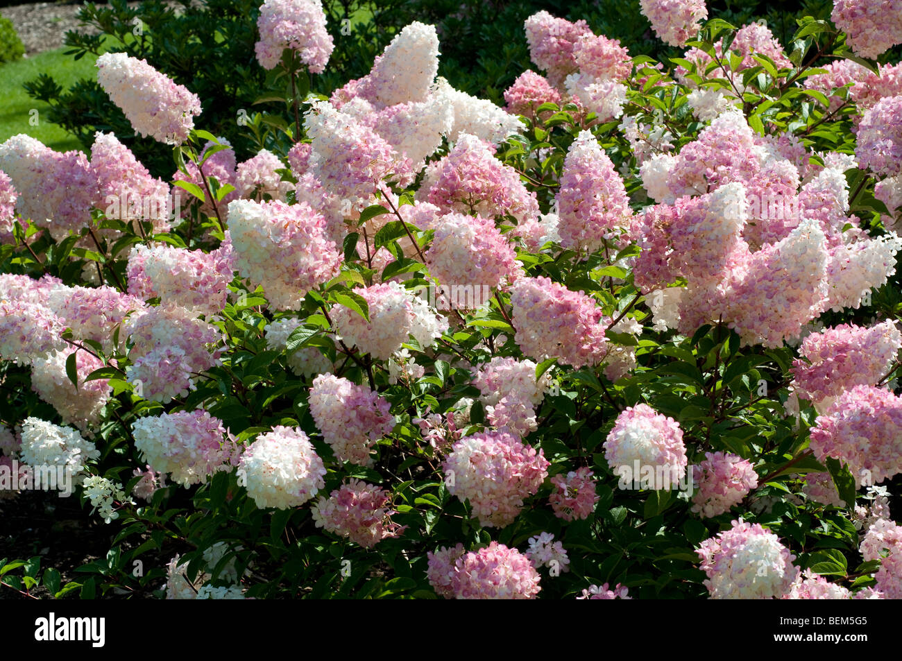 hydrangea paniculata vanille fraise renhy stock photo. Black Bedroom Furniture Sets. Home Design Ideas