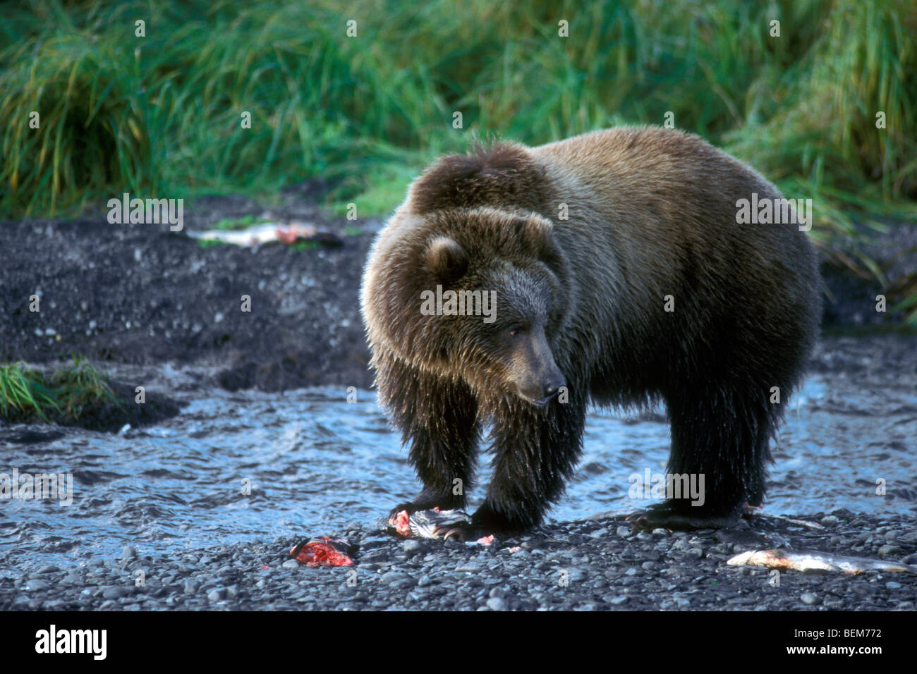 kodiak-brown-bear-ursus-arctos-middendor