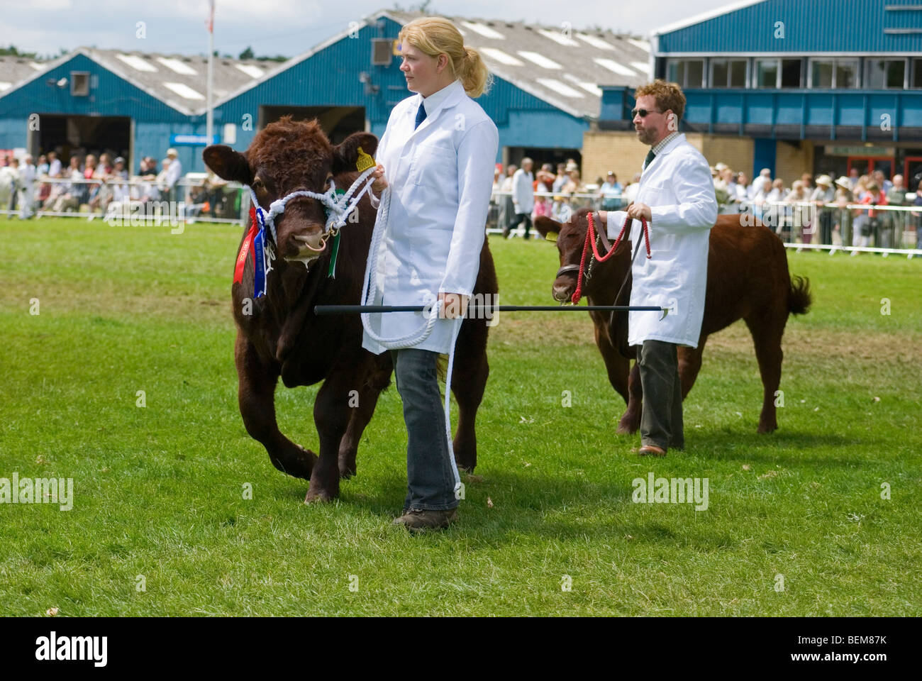 Small Dexter Cattle With Handlers Man And Woman Wearing White