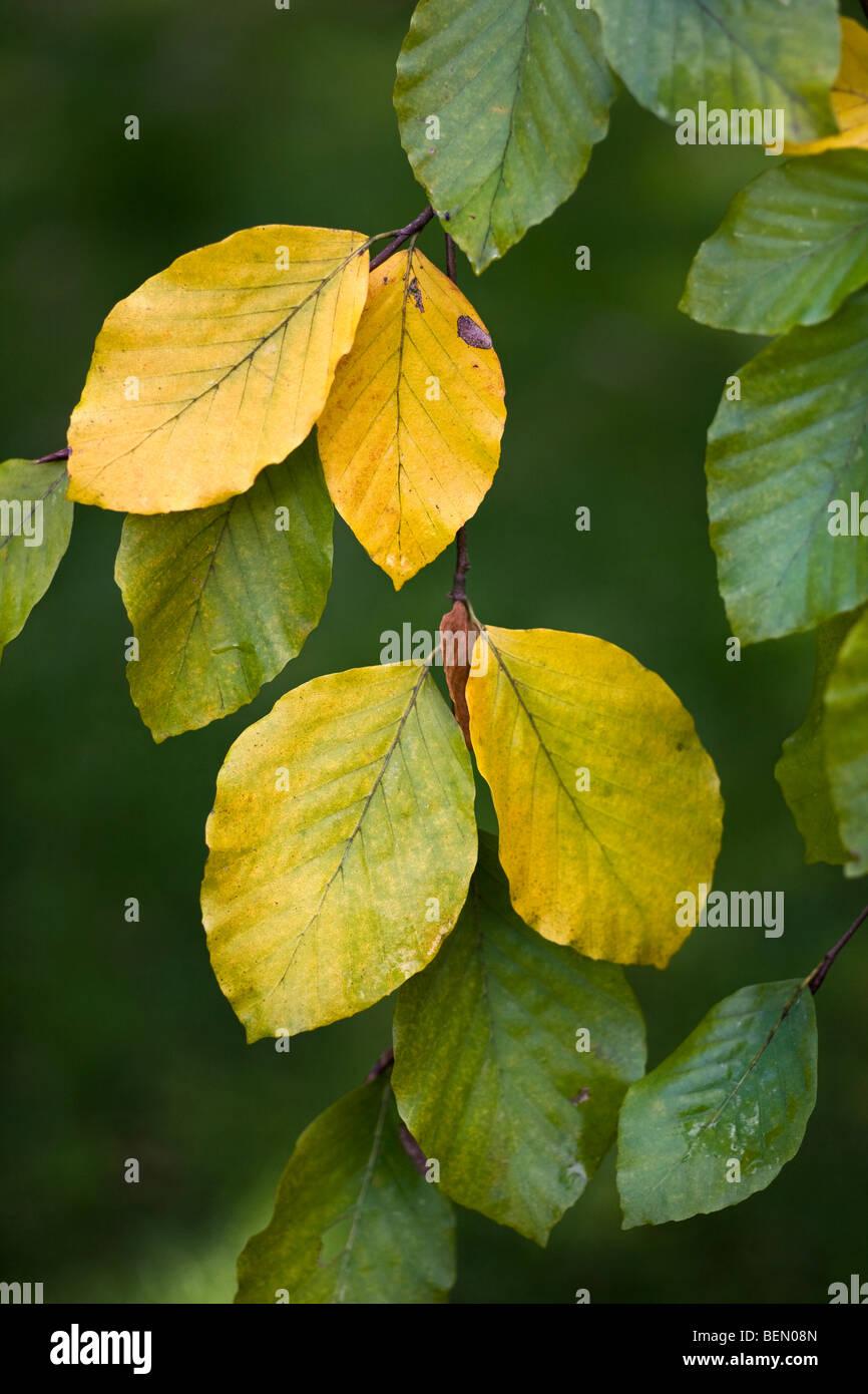 Beech leaves (Fagus sylvatica) turning colour in autumn, Belgium ...