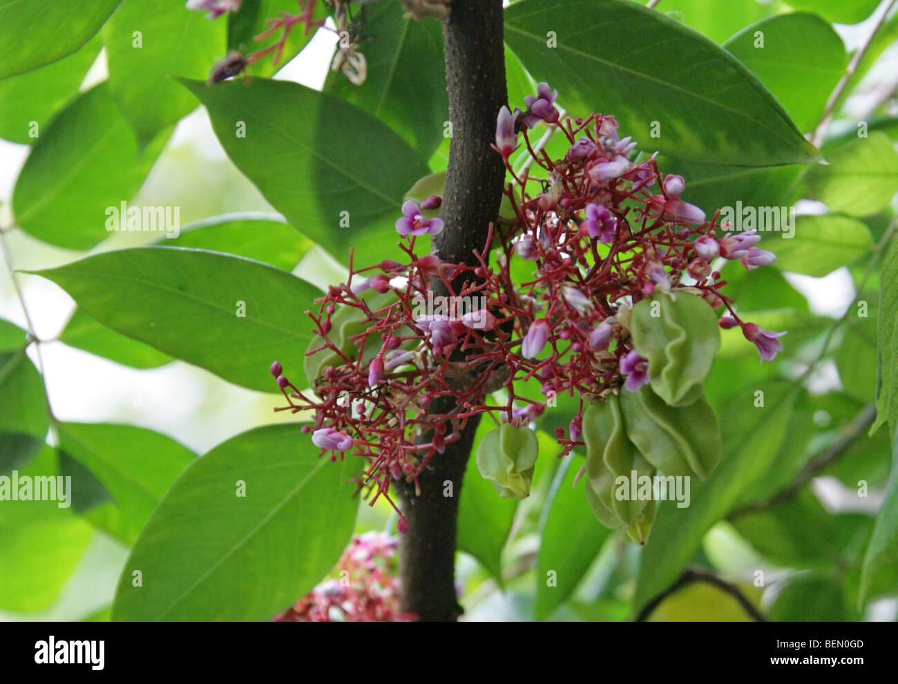 flowers of the carambola, star fruit or starfruit tree, averrhoa, Beautiful flower