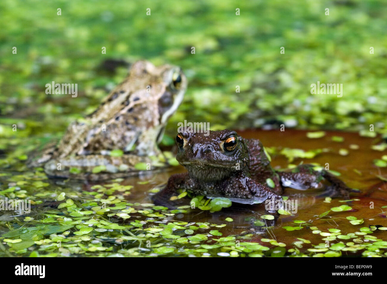 toad lily pad stock photos u0026 toad lily pad stock images alamy