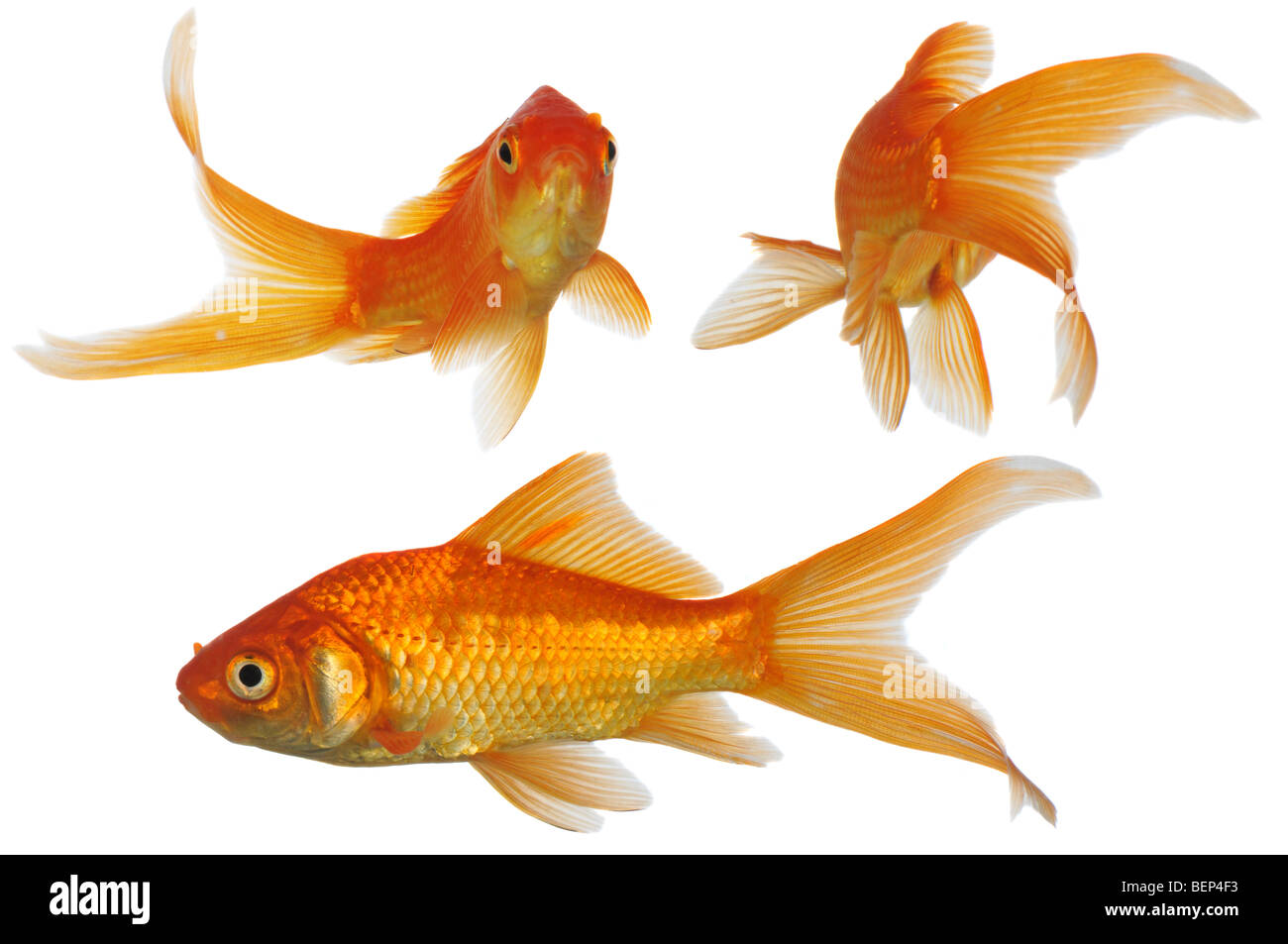 Assorted gold fish swimming isolated on a white background for Fish swimming video