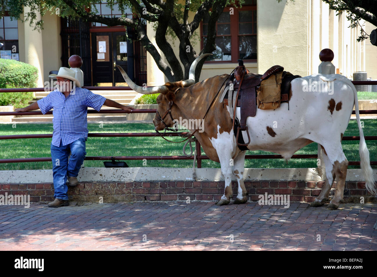 longhorn cow stock photos u0026 longhorn cow stock images alamy