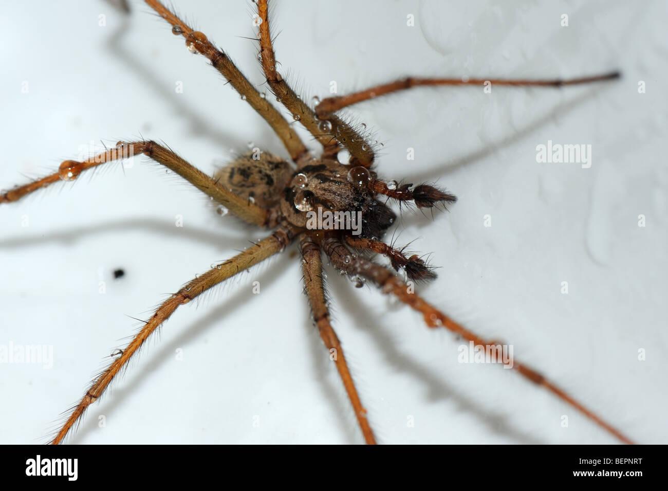 House Spider (Tegenaria Gigantea) In A Kitchen Sink And Slightly Wet