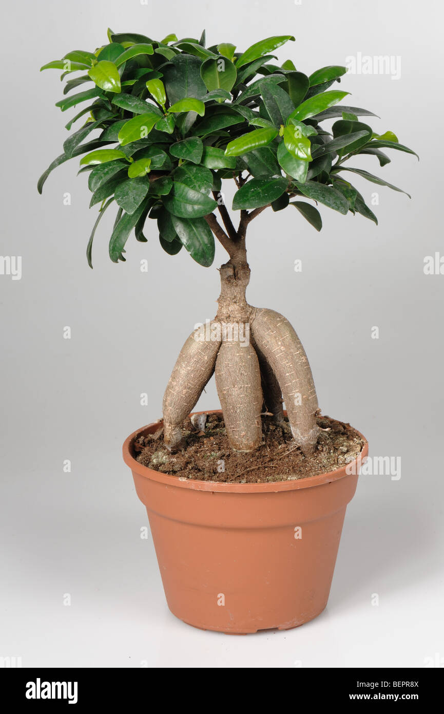 ficus microcarpa ginseng bonsai tree in a pot stock photo. Black Bedroom Furniture Sets. Home Design Ideas