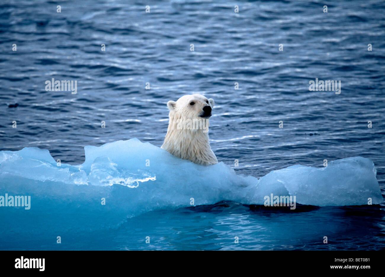 Polar bear swimming in ocean - photo#44