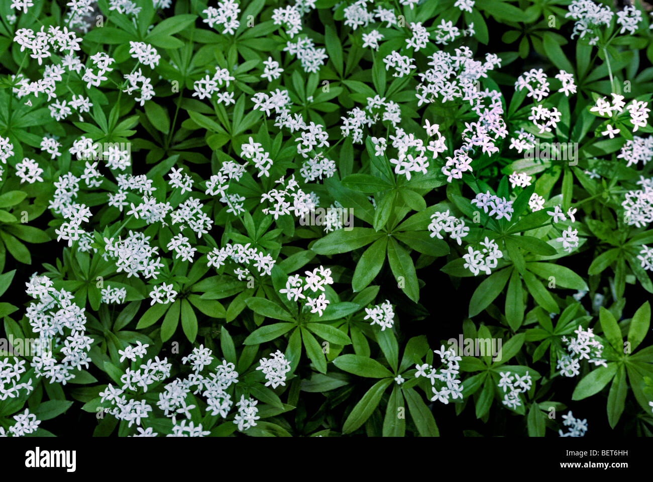 sweet woodruff wild baby 39 s breath master of the woods. Black Bedroom Furniture Sets. Home Design Ideas