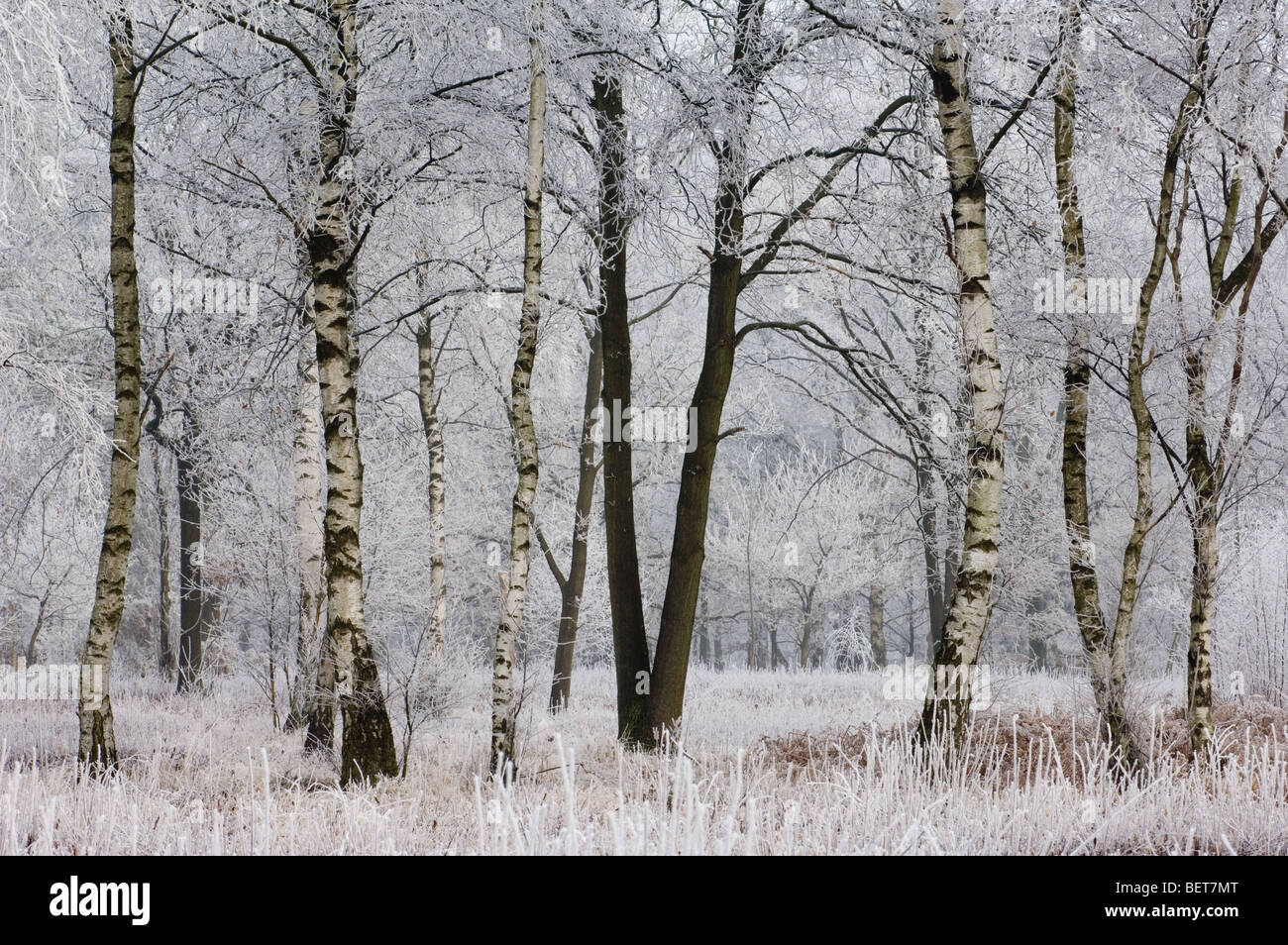 branches of birch trees in deciduous forest in freezing. Black Bedroom Furniture Sets. Home Design Ideas