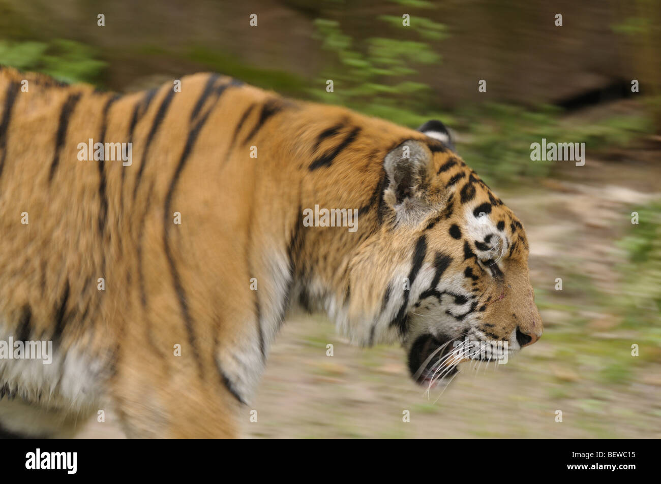 BBC Nature  Tiger videos news and facts