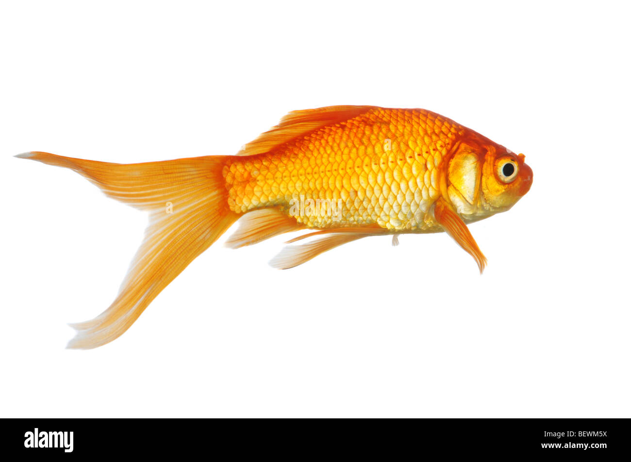 Gold fish swimming isolated on a white background stock for Image of fish
