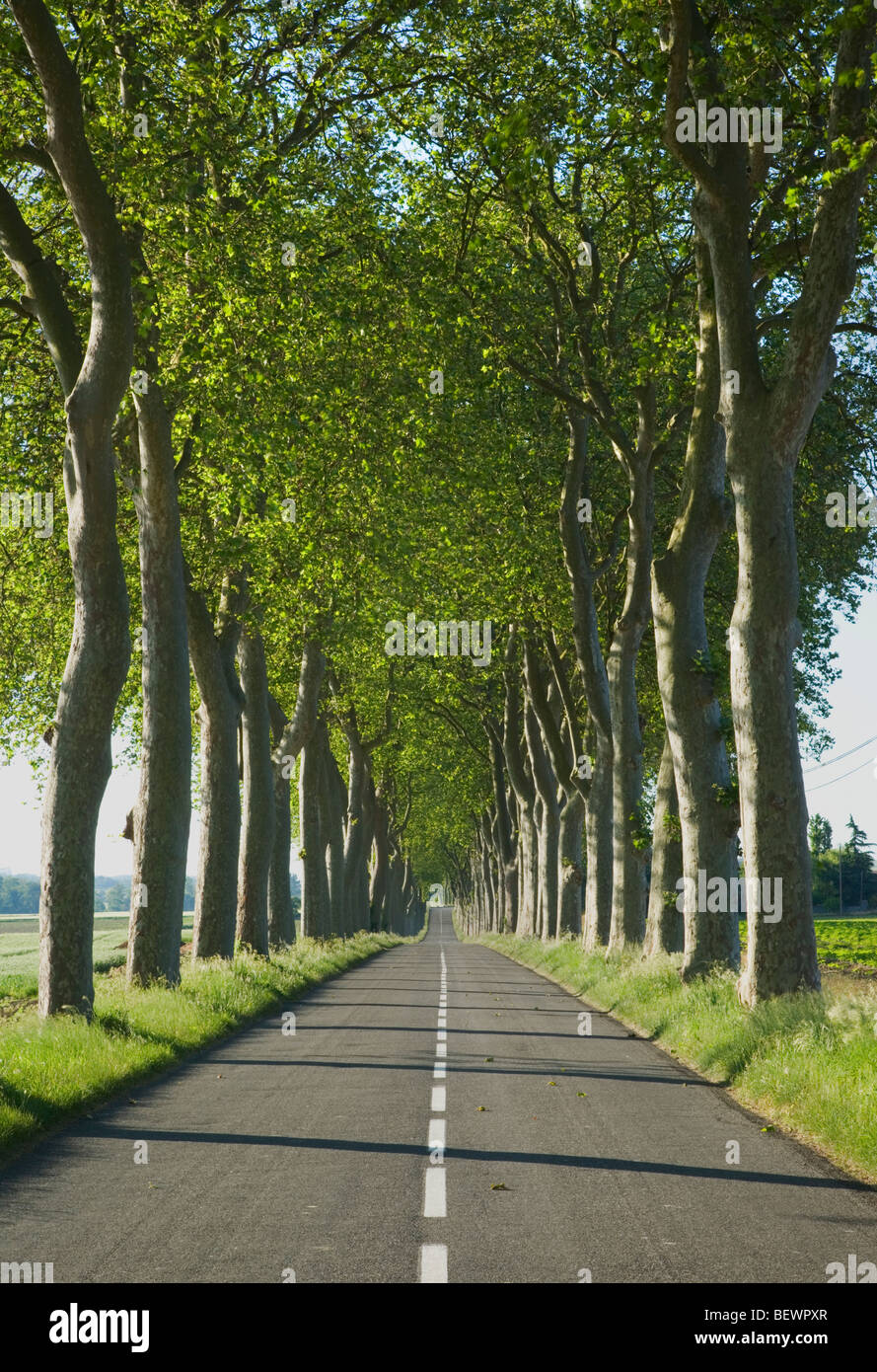 Avenue of trees alongside a road in rural France Stock Photo ... for Straight Road With Trees  55jwn