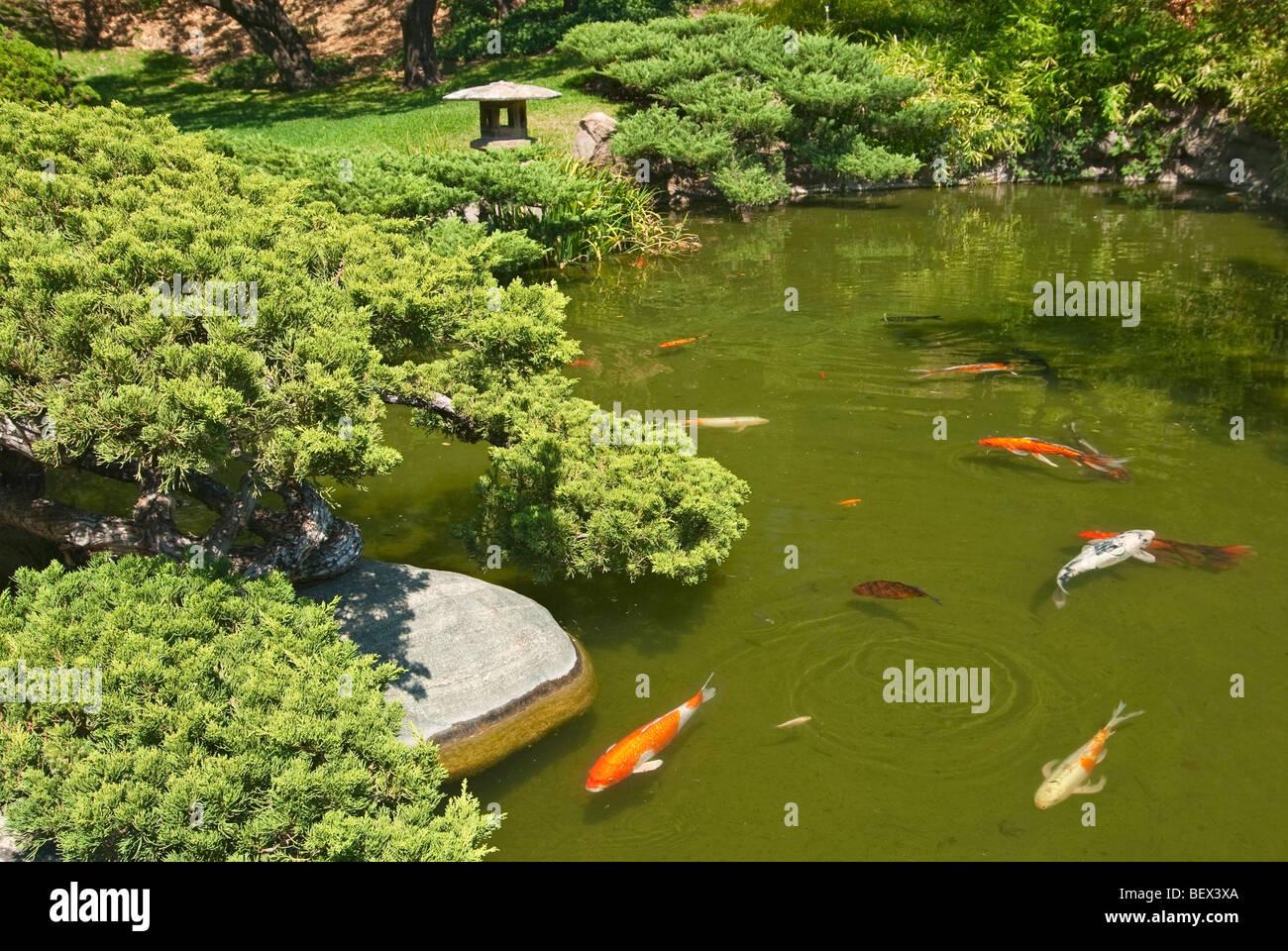 koi fish in the huntington librarys japanese garden