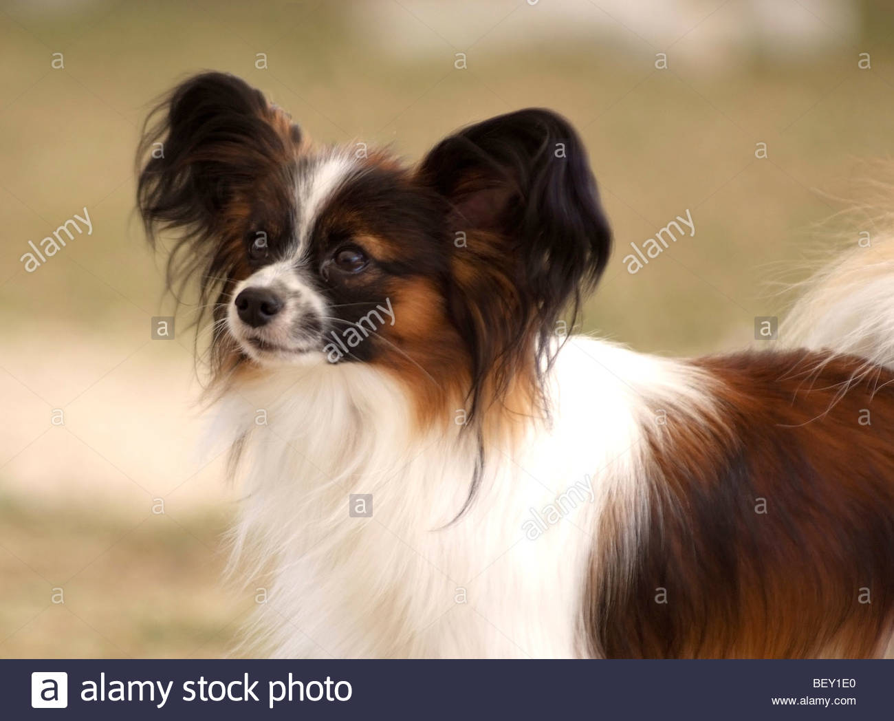 epagneul papillon continental