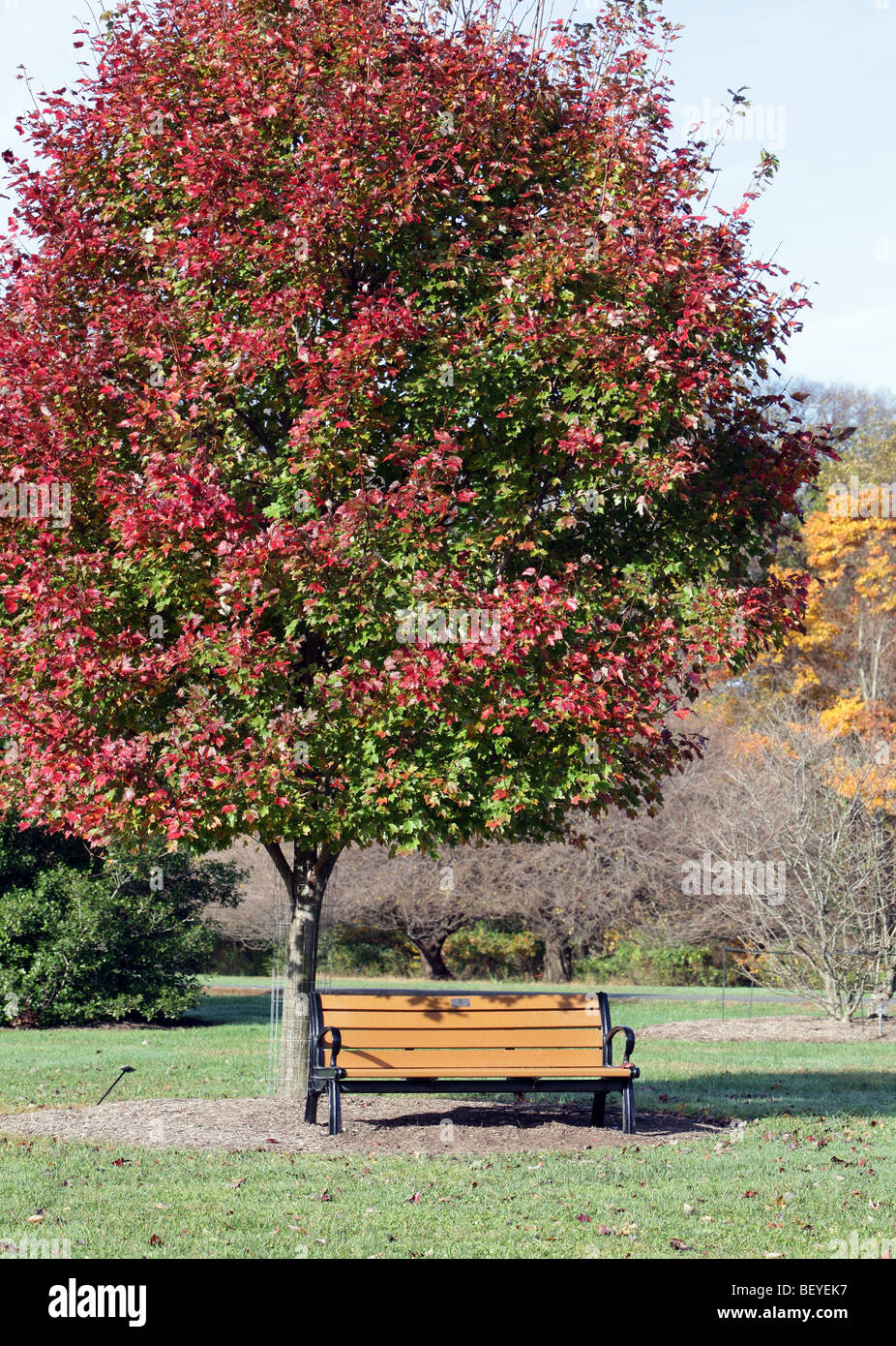 a park bench under a red maple tree acer rubrum an. Black Bedroom Furniture Sets. Home Design Ideas