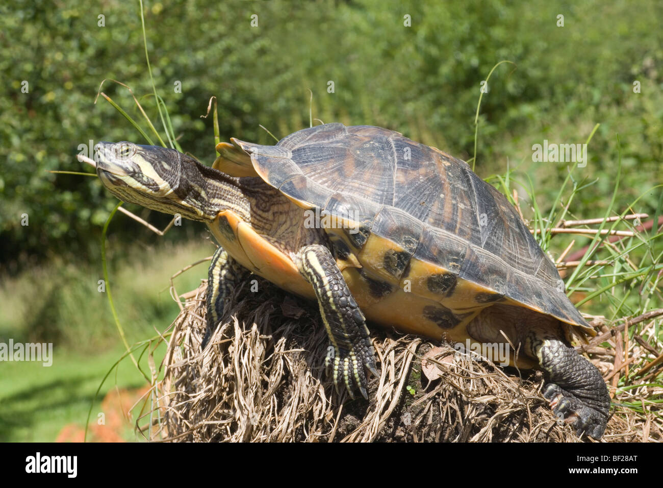 North american yellow bellied turtle trachemys scripta for Trachemys scripta