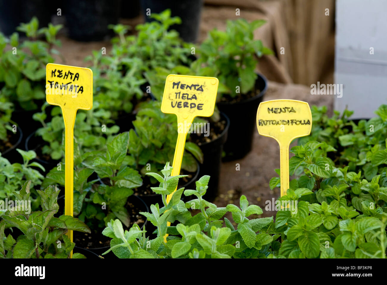 Plants For Kitchen Garden Mint Plants And Signs In Kitchen Garden Stock Photo Royalty Free