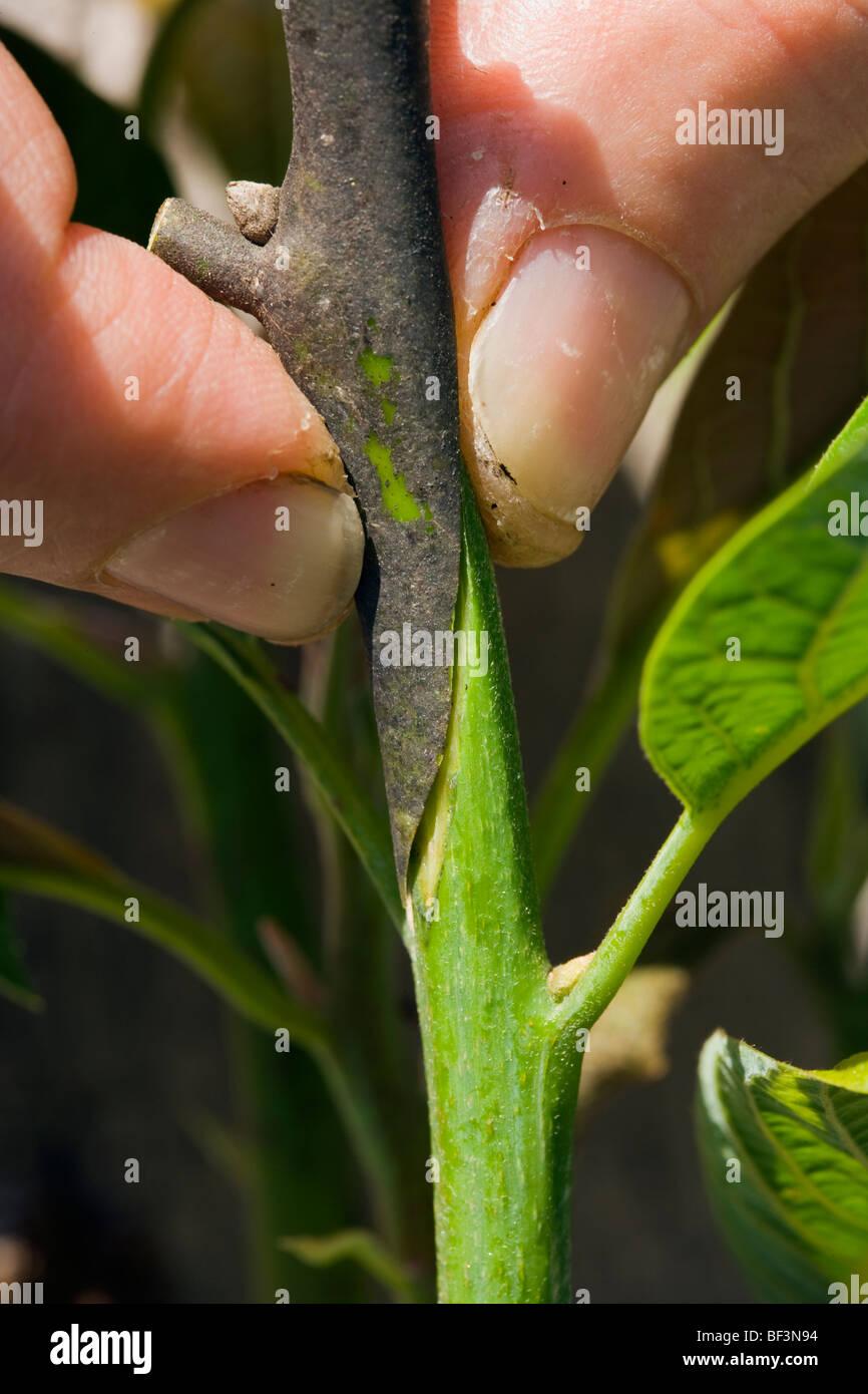 A Field Technician Grafts Multiple Hybrid Cultivars To A