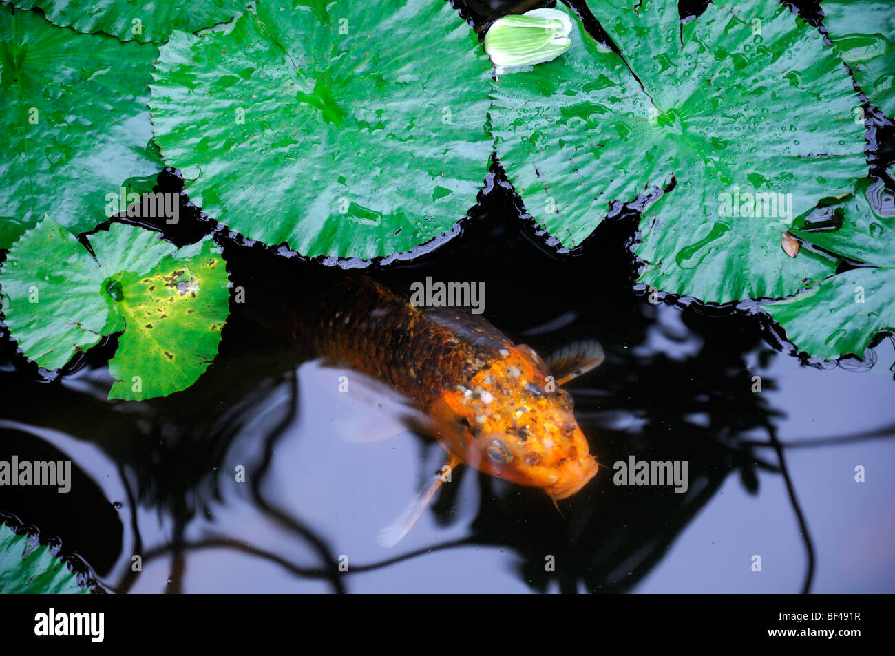 Orange color colored koi carp in a small pond lily pads for Koi pond color