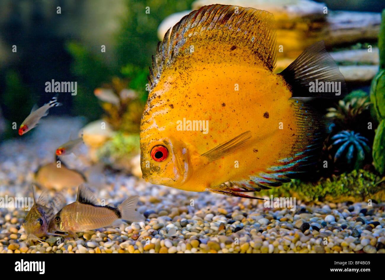 Freshwater aquarium fish cape town - Yellow Discus Fish And Corydora Catfish Stock Image