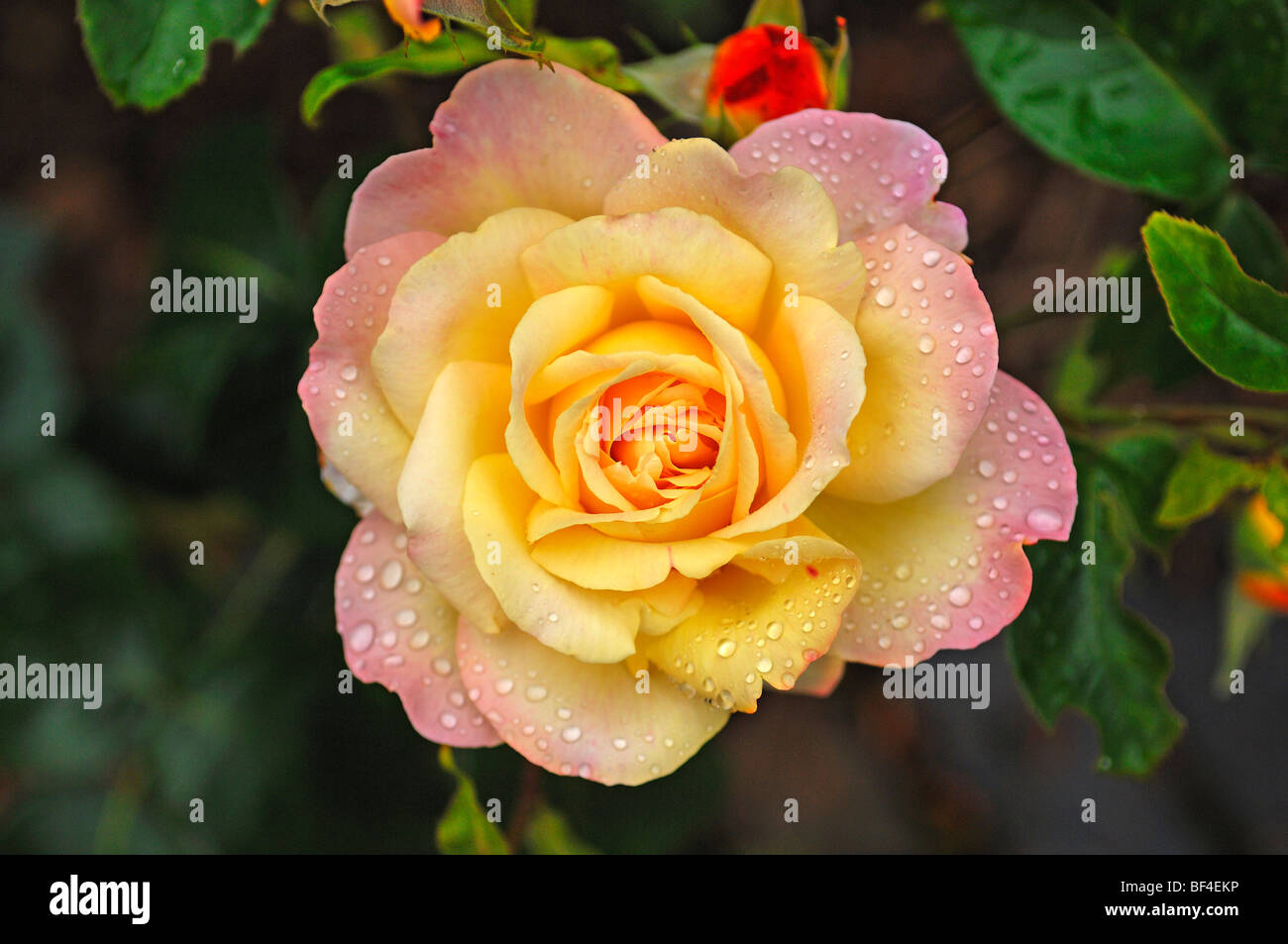yellow roses with water drops - photo #42