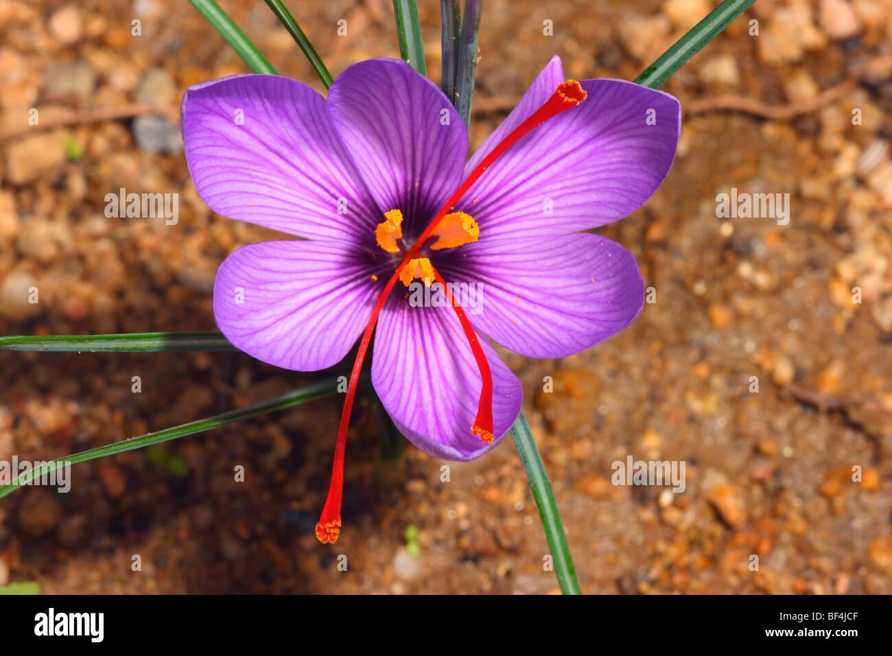 Saffron Crocus sativus Flower closeup showing red stigmas that Stock