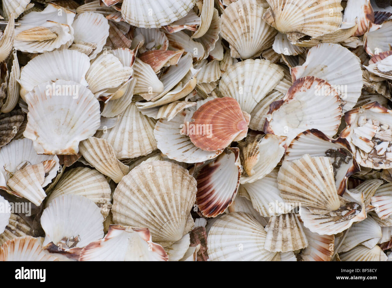 Scallop shells pecten sp empty shells from harvested bivalves scallop shells pecten sp empty shells from harvested bivalves islay nw scotland biocorpaavc Image collections
