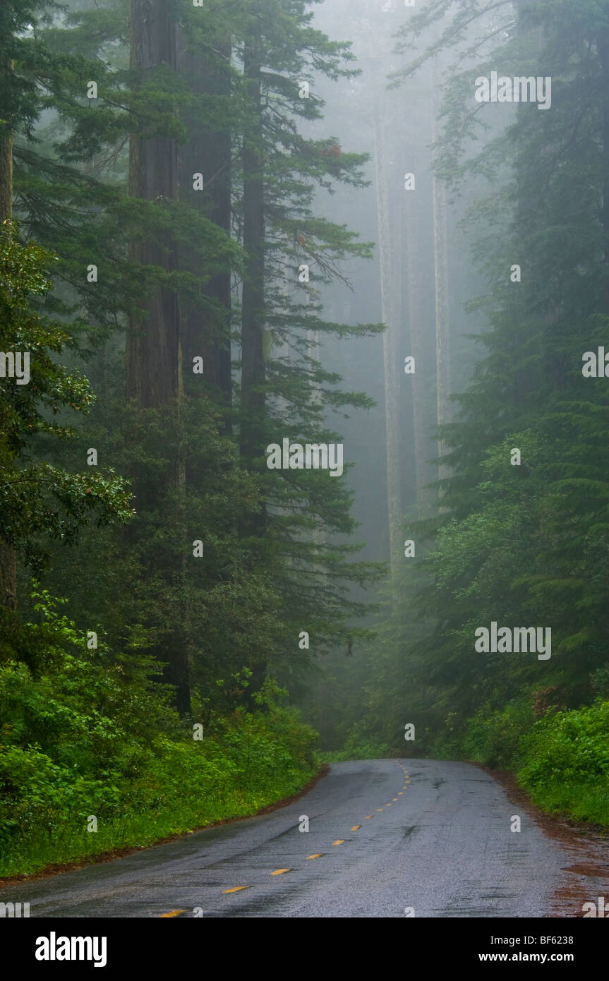 Road through Redwood trees and forest in the fog and rain, Redwood ...