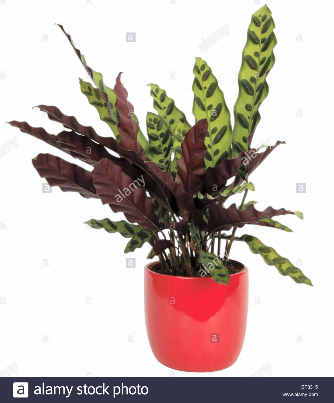 rattlesnake plant calathea lancifolia calathea insignis calathea stock photo royalty free. Black Bedroom Furniture Sets. Home Design Ideas