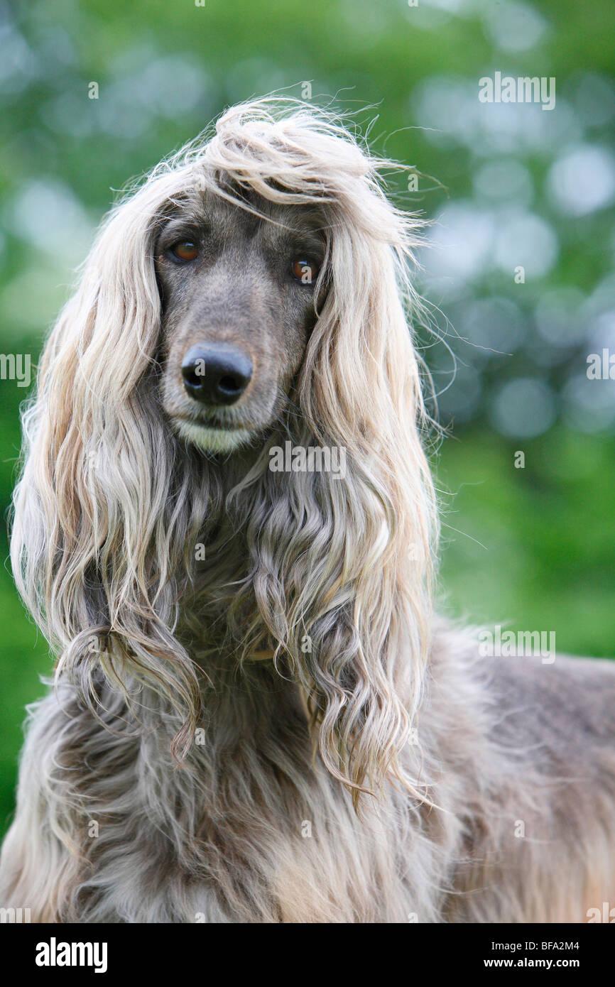 Afghanistan Hound Afghan Hound Canis Lupus F Familiaris