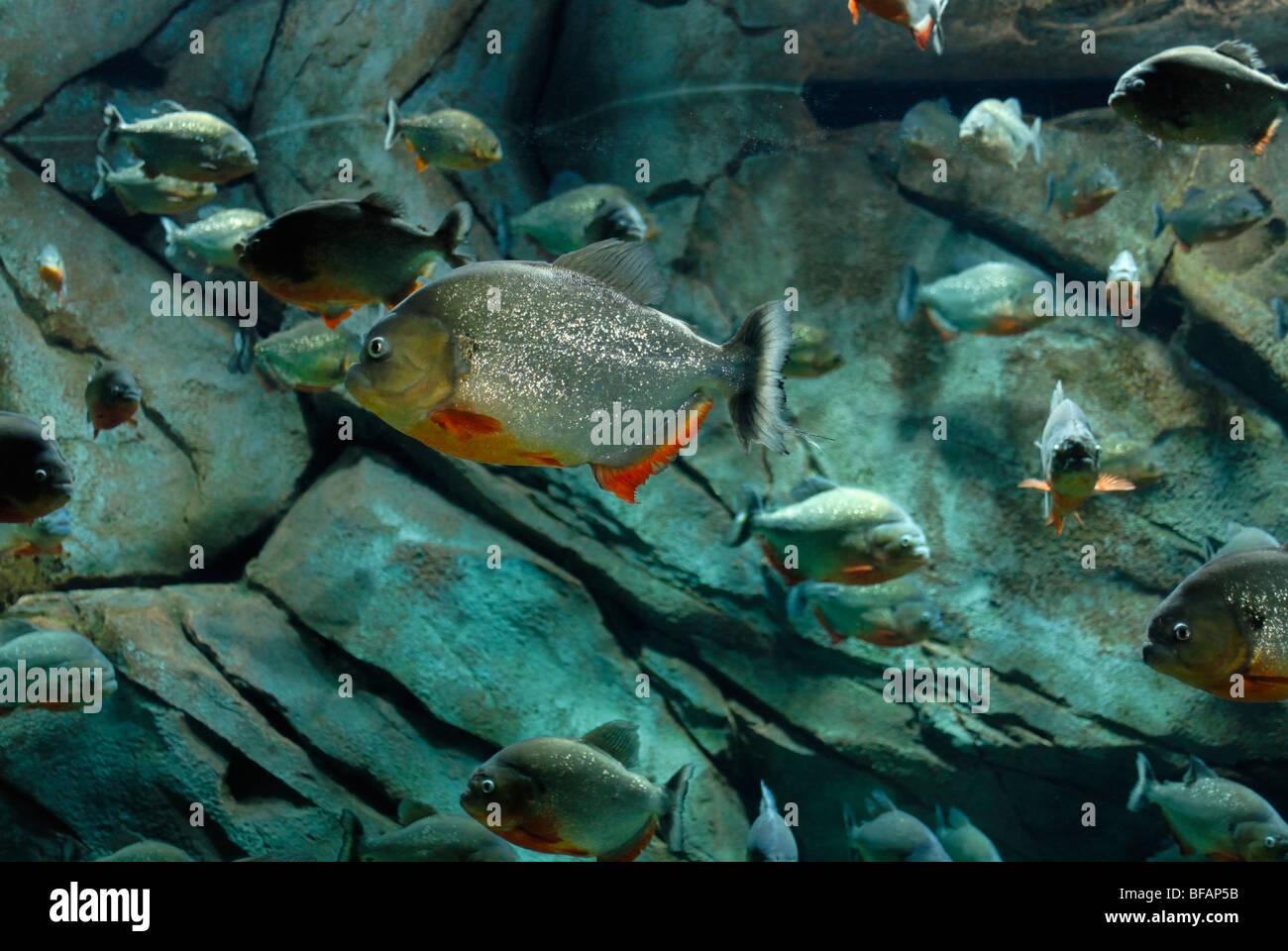 Red piranha exhibit pygocentrus nattereri georgia for Piranha fish tank