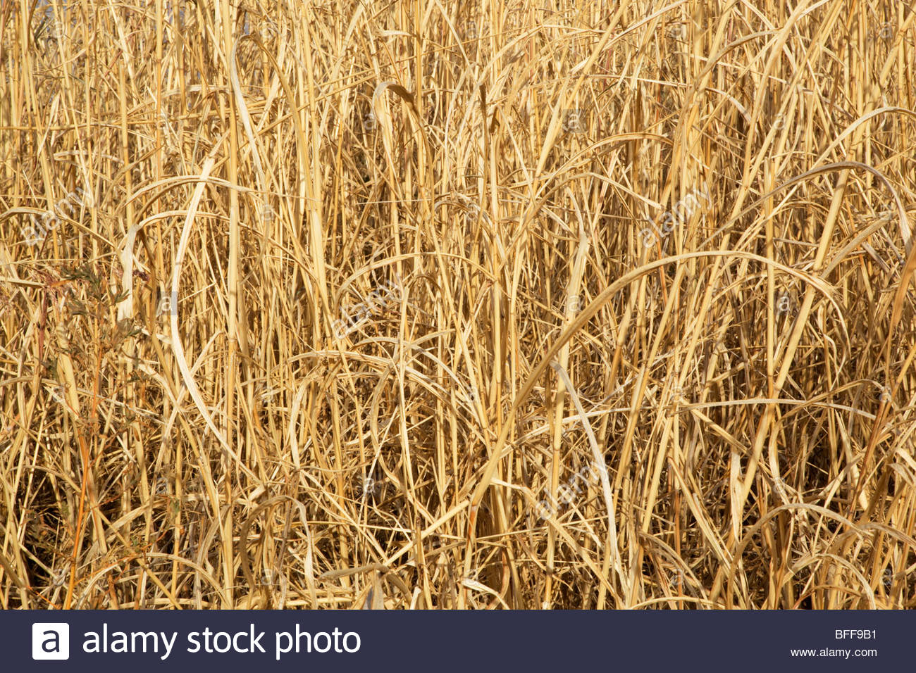 "Natural texture dry tall grass ""New Mexico Stock Photo ..."