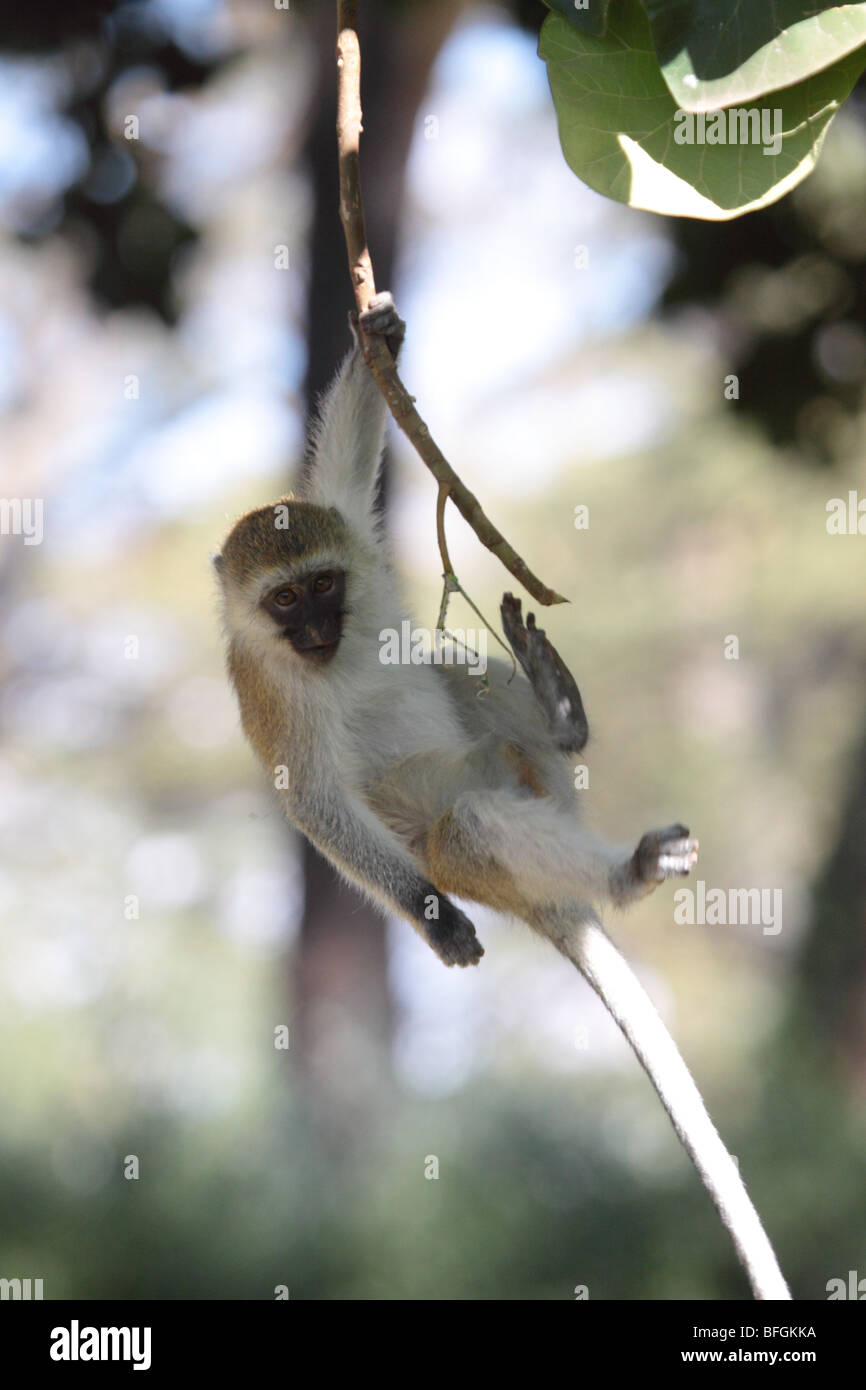 monkey hanging from stock photos u0026 monkey hanging from stock