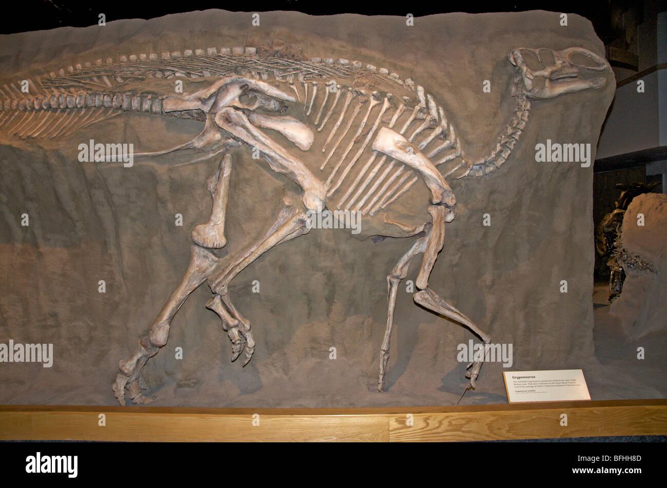 Skeleton of duckbill Gryposaurus (Gryposaurus notabilis ...