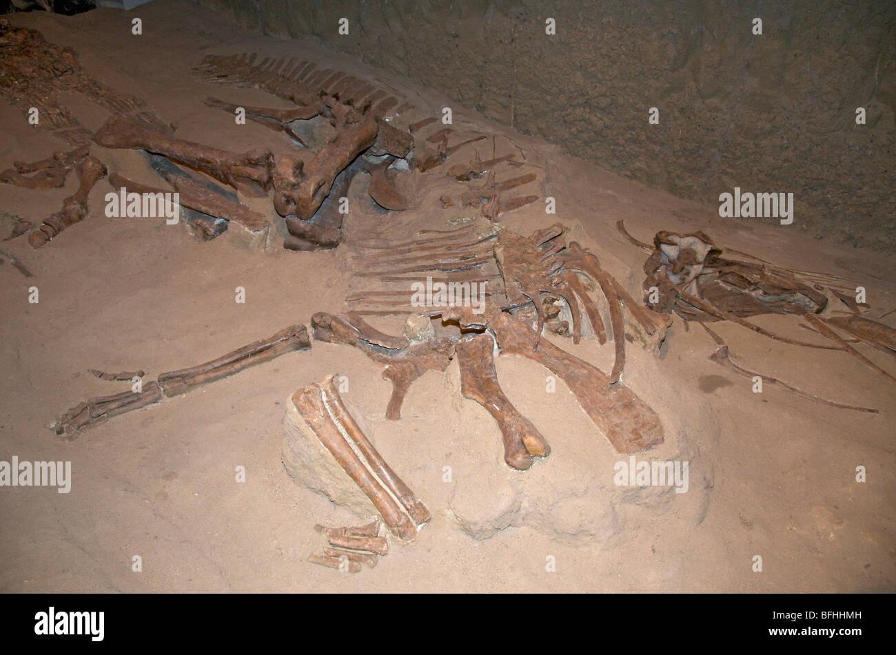 Skeleton of Gryposaurus incurvimanus. Dinosaur Provincial ...