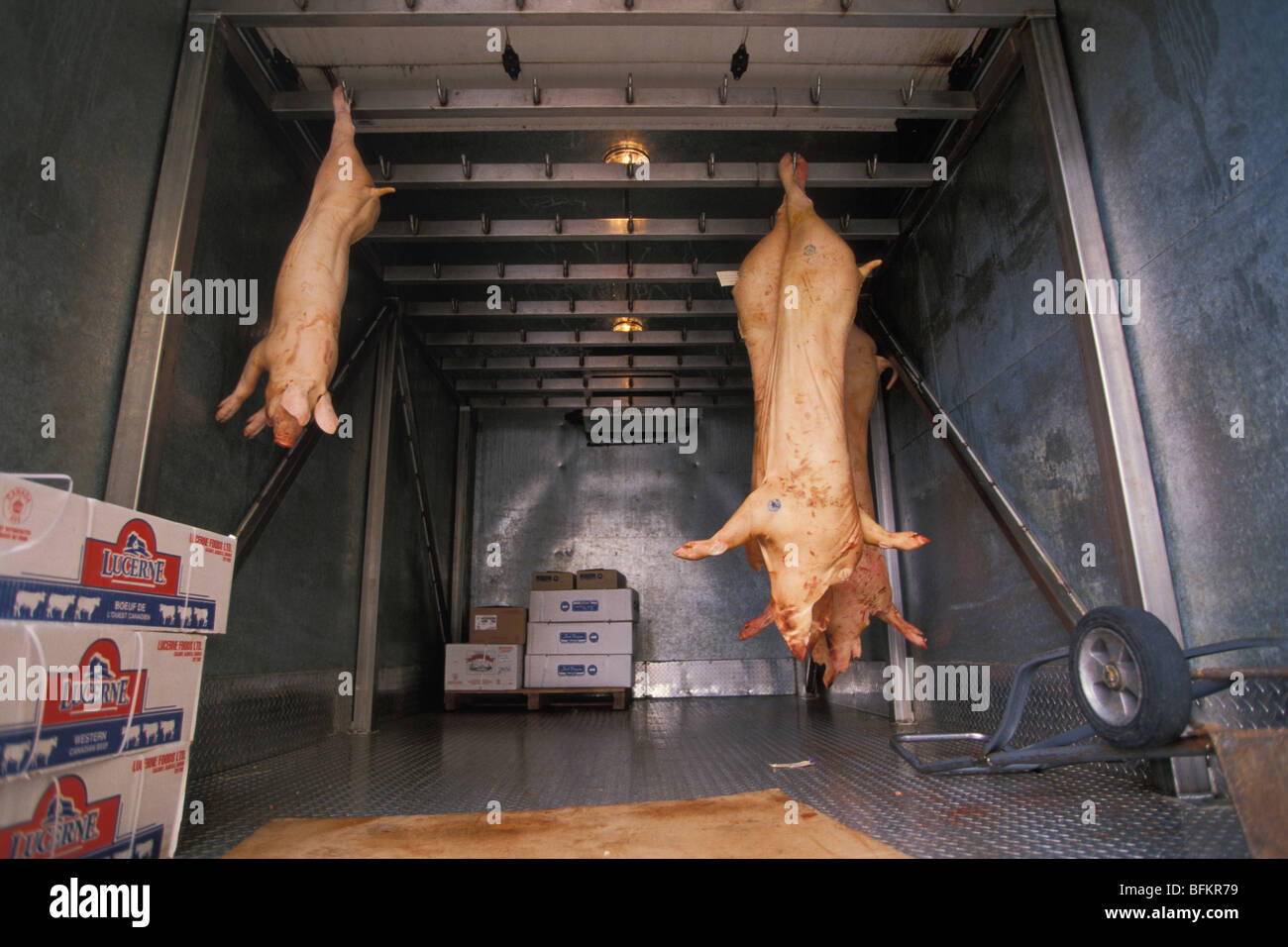 Swine Carcasses Hang From Hooks Inside Of Delivery Truck Vancouver British Columbia Canada