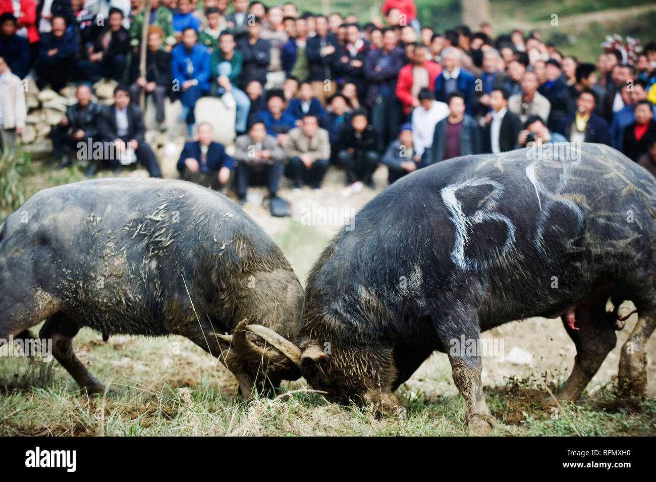 festival of buffalo fights World news for students of english  vietnam's annual water buffalo fighting festival resumed after a  lock horns (fight violently and literally fight by .