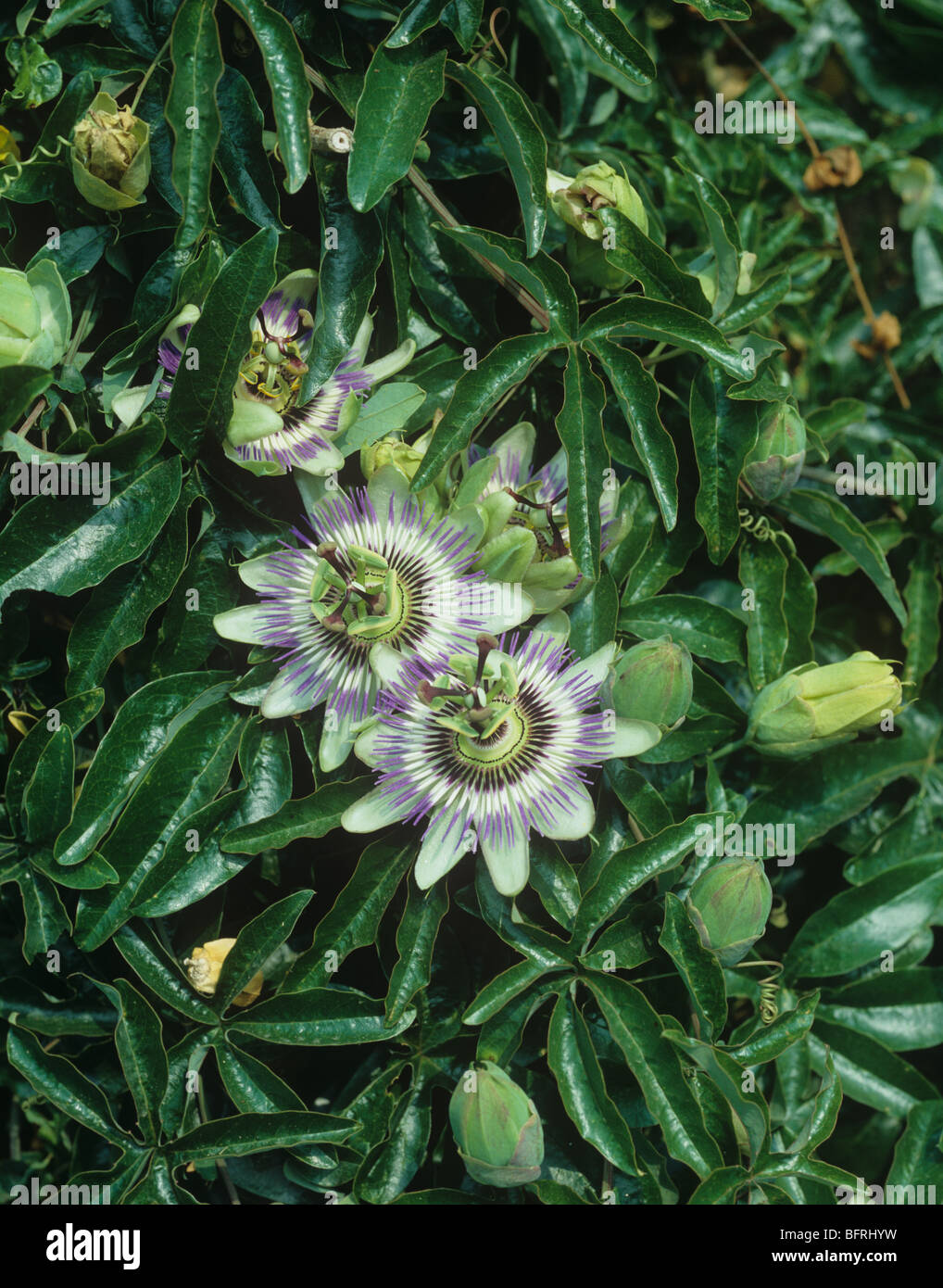 passion flower passiflora caerulea flowers buds stock. Black Bedroom Furniture Sets. Home Design Ideas