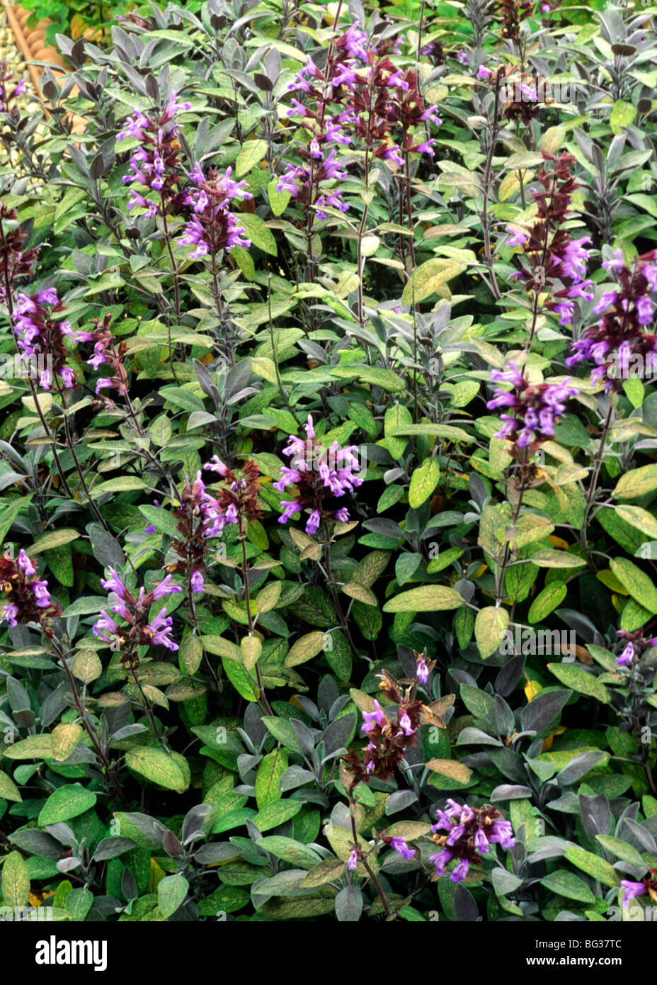 Plants For Kitchen Garden Salvia Officinalis Purpurescens Sage Herb Herbs Kitchen Garden