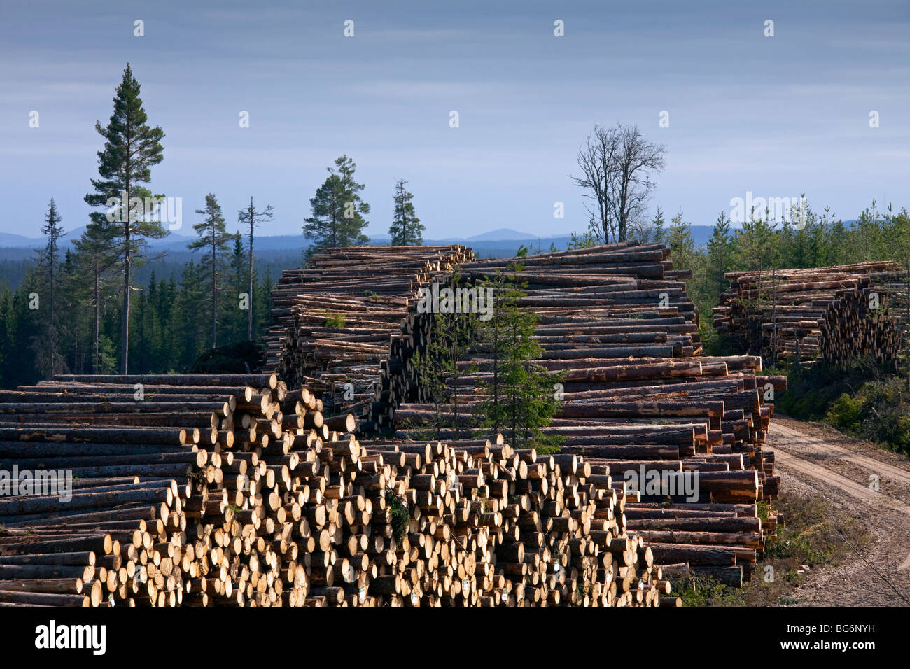 Deforestation by logging industry showing piles of cut for Pine tree timber