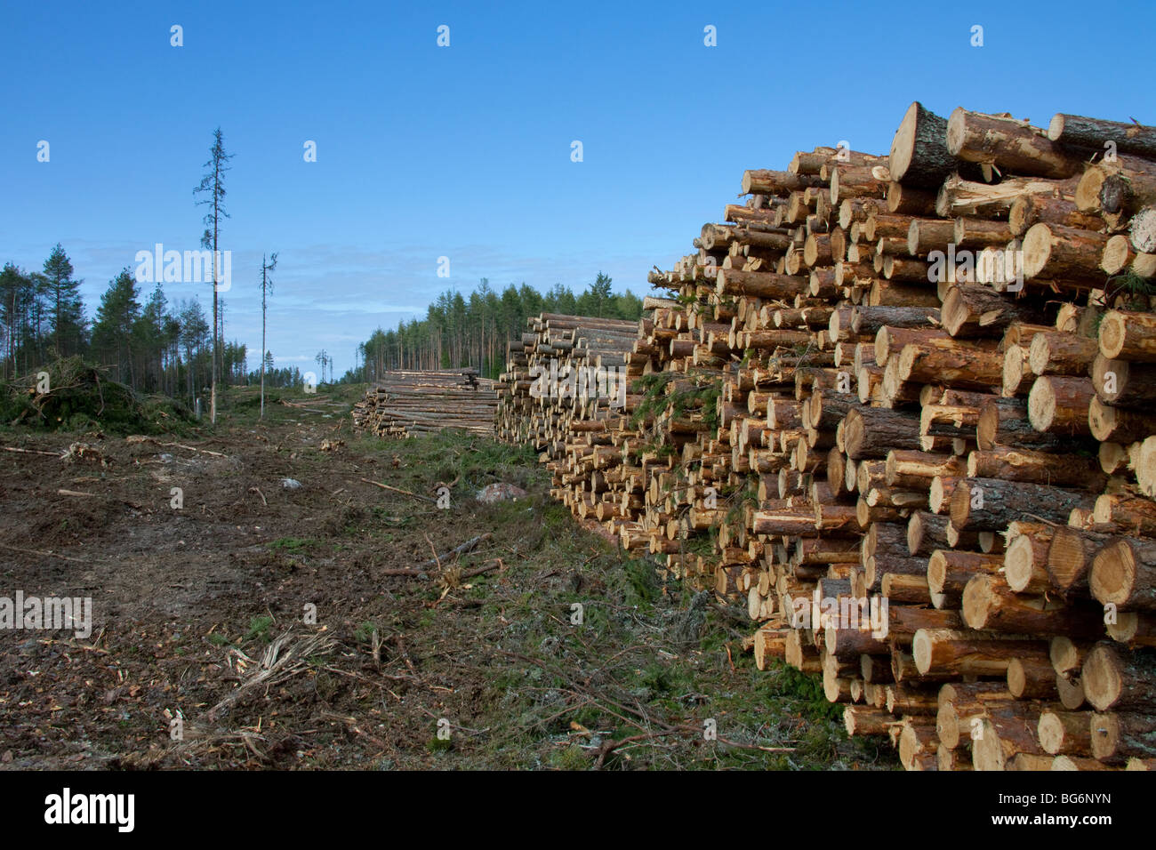 Logging industry showing pile of cut logs trees timber Pine tree timber
