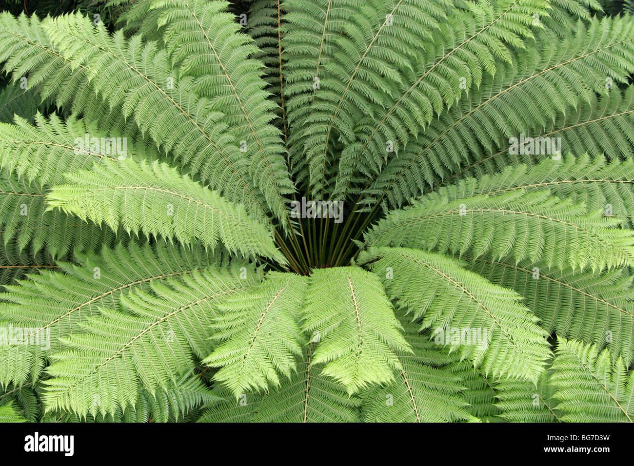 soft tree fern man fern or tasmanian tree fern dicksonia. Black Bedroom Furniture Sets. Home Design Ideas