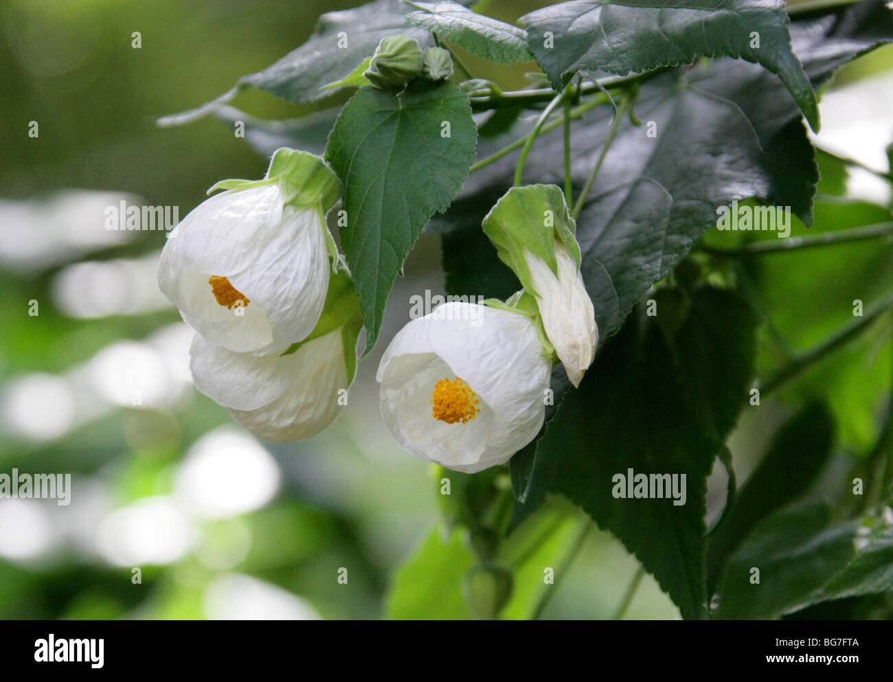chinese lantern flower  flower, Beautiful flower
