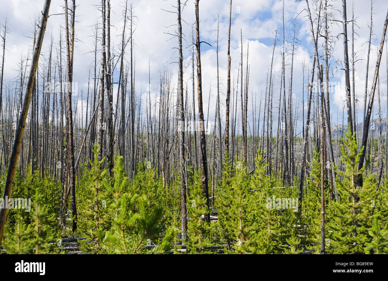 Scorched trees and new growth after a forest fire in ...