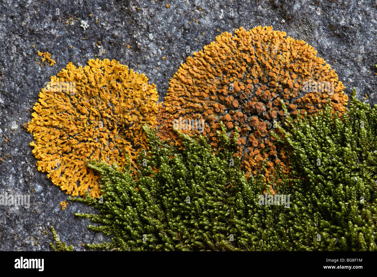 Moss non flowering plants stock photos moss non flowering plants xanthoria elegans lichen and moss banff national park banff alberta canada dhlflorist Image collections