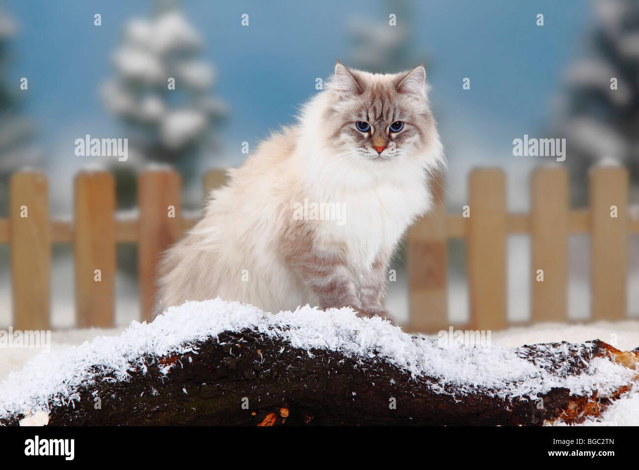 Blue Silver Siberian Cat