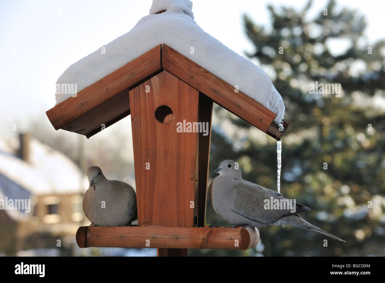 good birdhouse for doves #10: ... Two Eurasian collared doves (Streptopelia decaocto) on bird feeder /  birdfeeder / bird table
