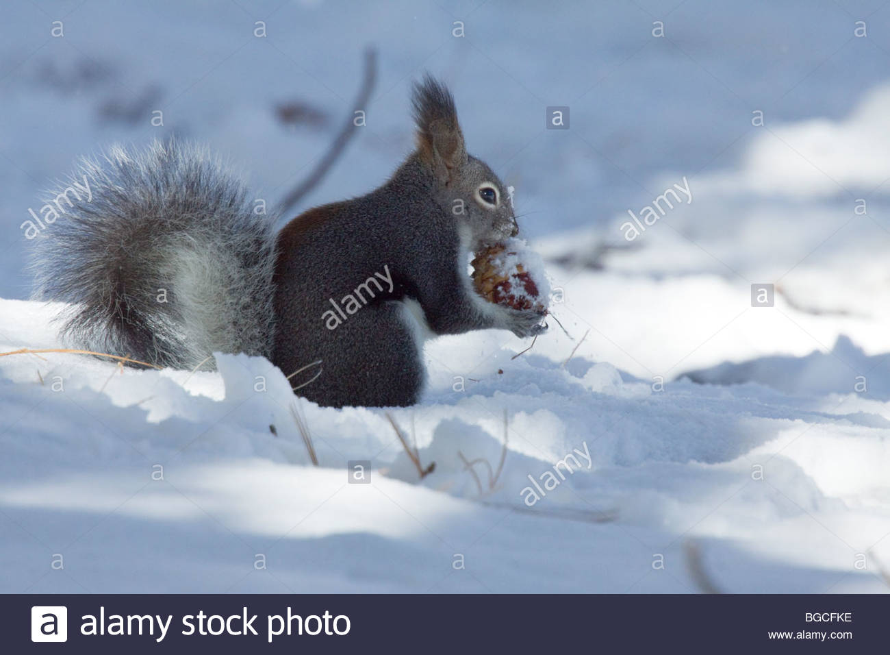abert-squirrel-sciurus-aberti-aberti-in-snow-eating-cone-BGCFKE.jpg