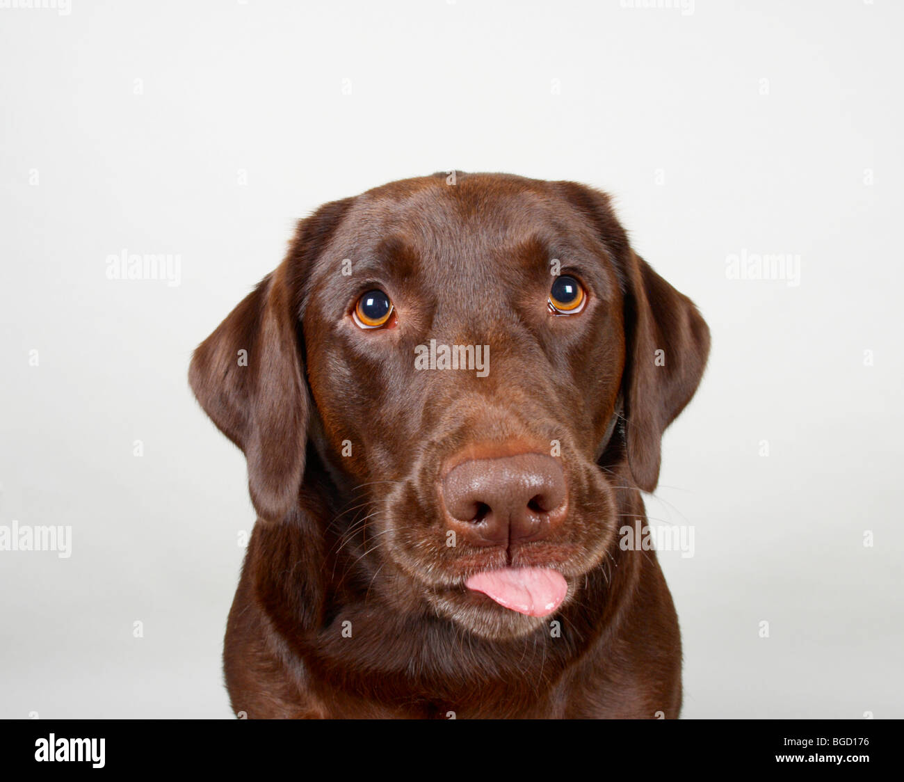 Smooth haired chocolate labrador retriever (with tongue out Stock ...