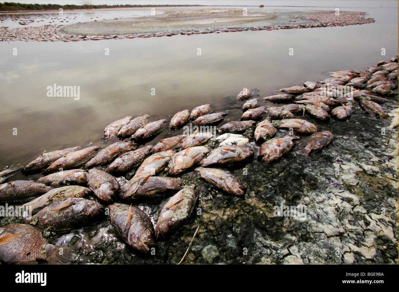 Dead fish in the salton sea killed by low oxygen levels for Salton sea fishing